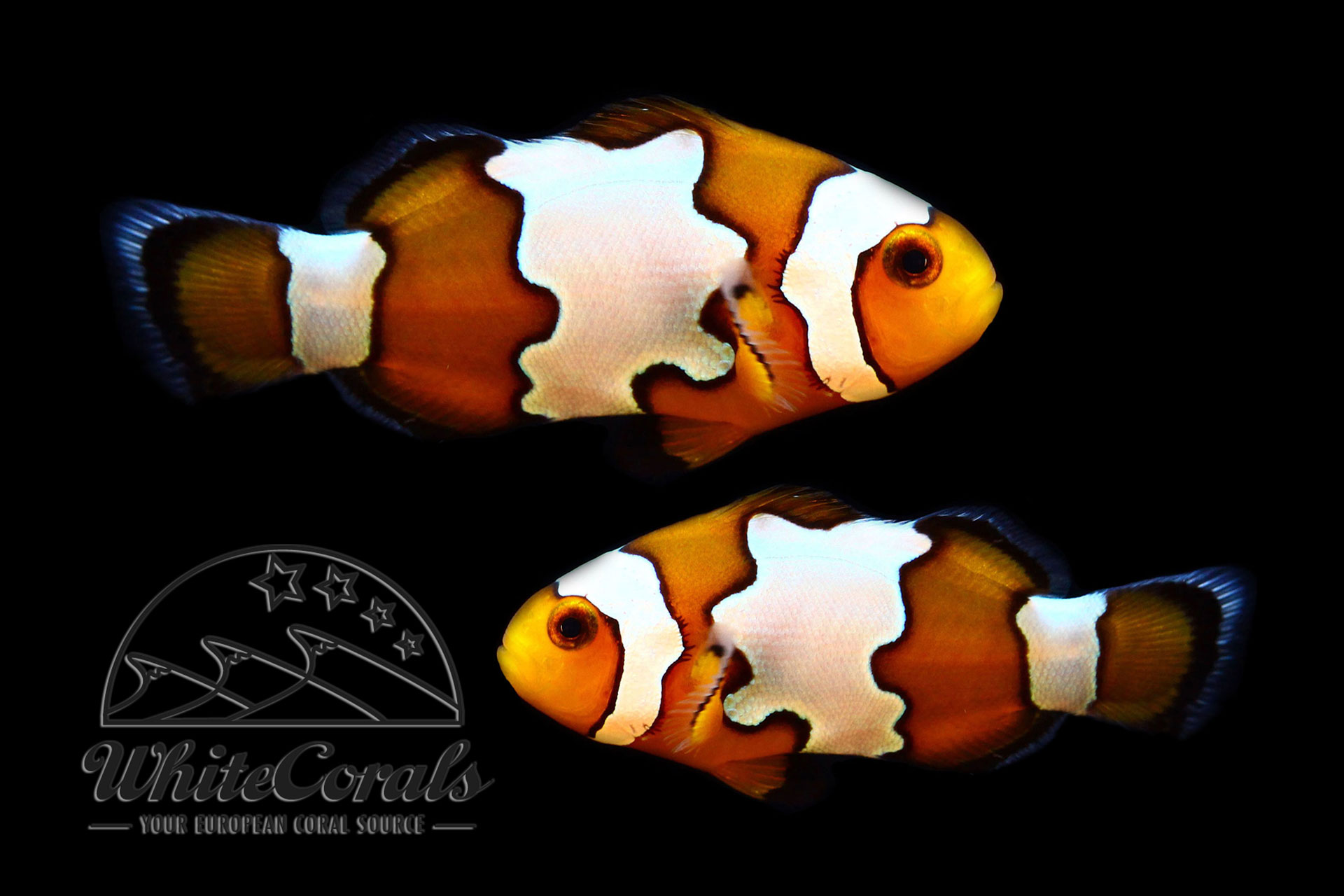 Amphiprion ocellaris - Snowflake Clownfisch (Paar)