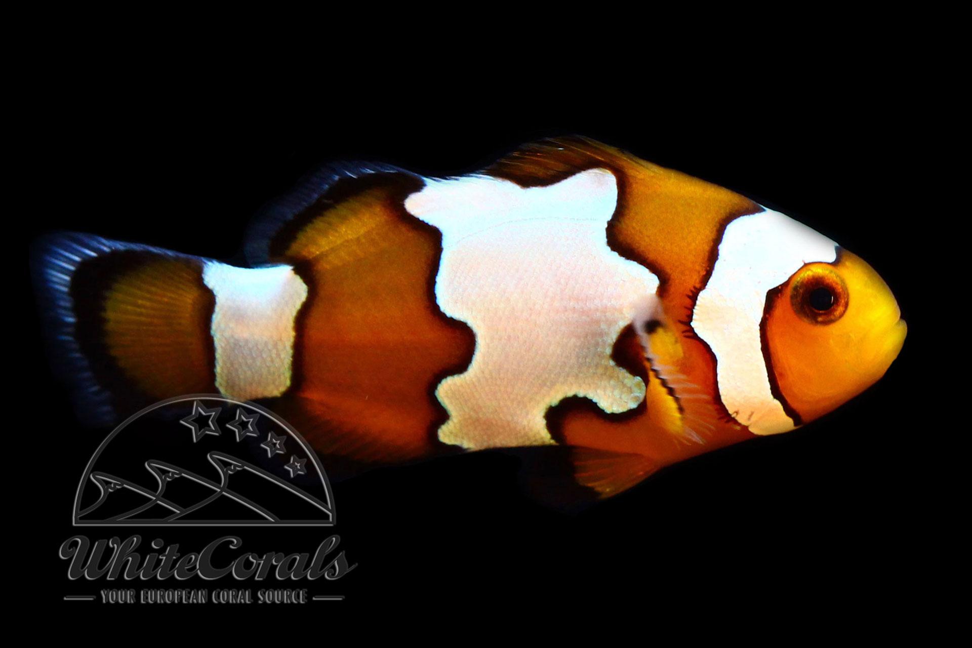 Amphiprion ocellaris - Snowflake Clownfisch