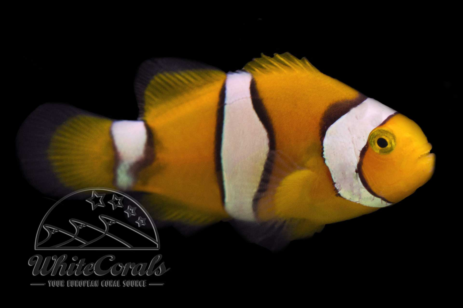 Amphiprion percula - Trauerband-Anemonenfisch