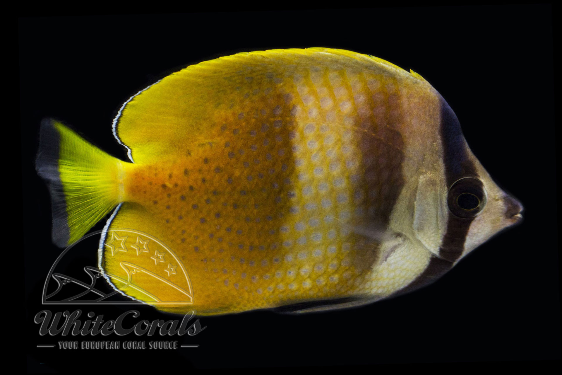 Chaetodon kleinii - Kleins Falterfisch