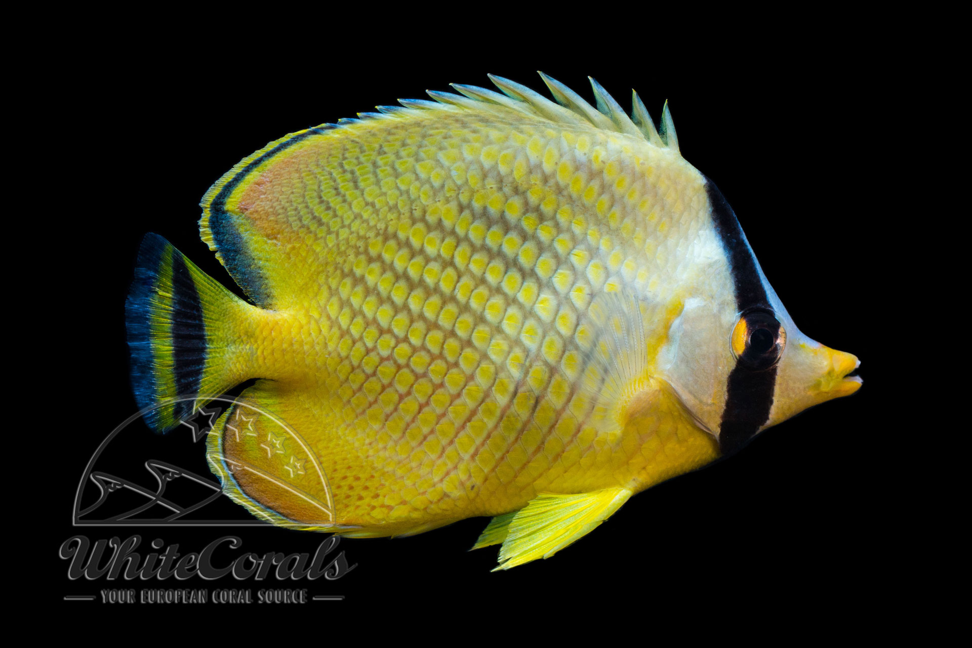 Chaetodon rafflesii - Großschuppen-Falterfisch