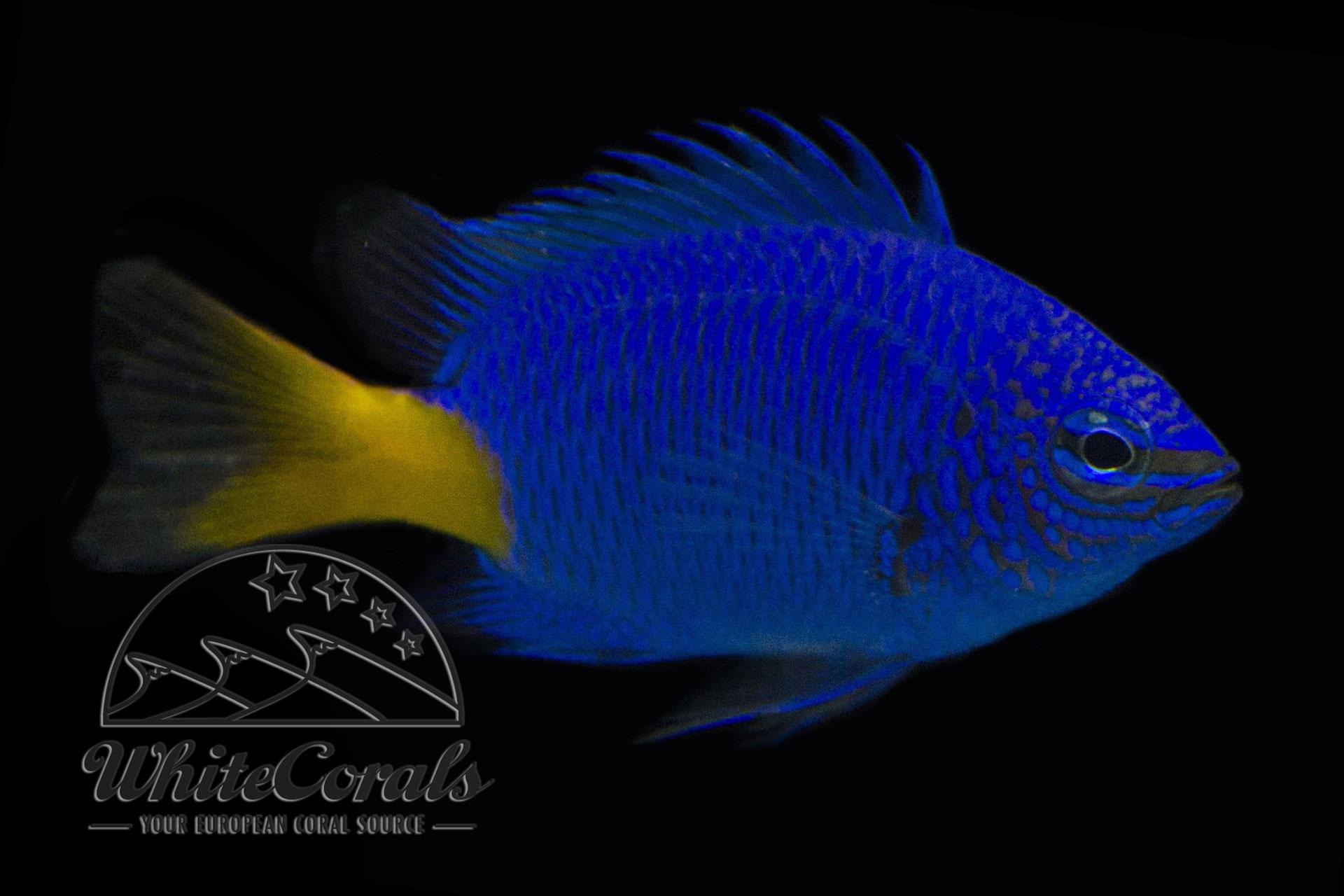 Meerwasserfische im Onlineshop kaufen - Fischversand