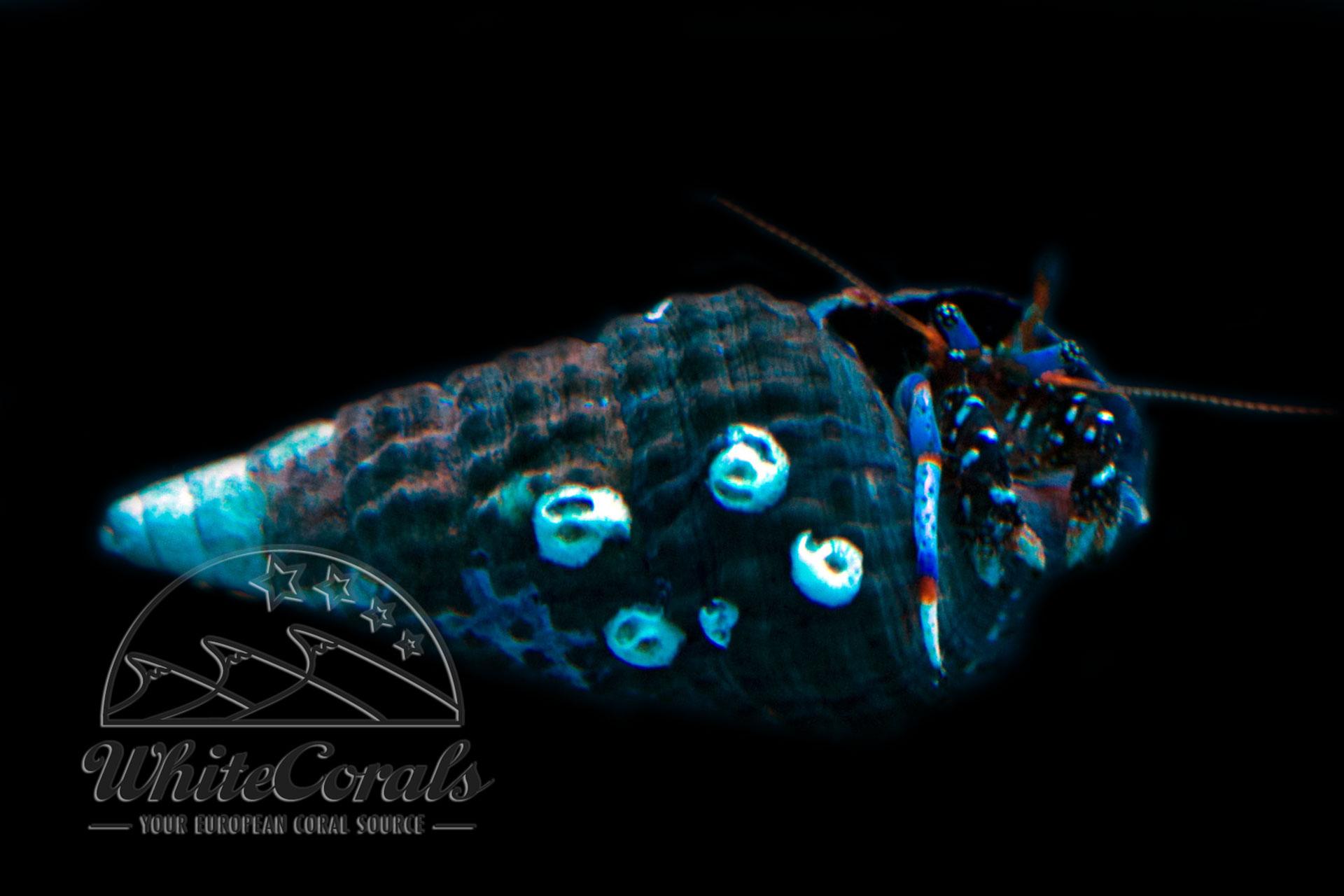 Clibanarius tricolor - Blaubein Einsiedlerkrebs