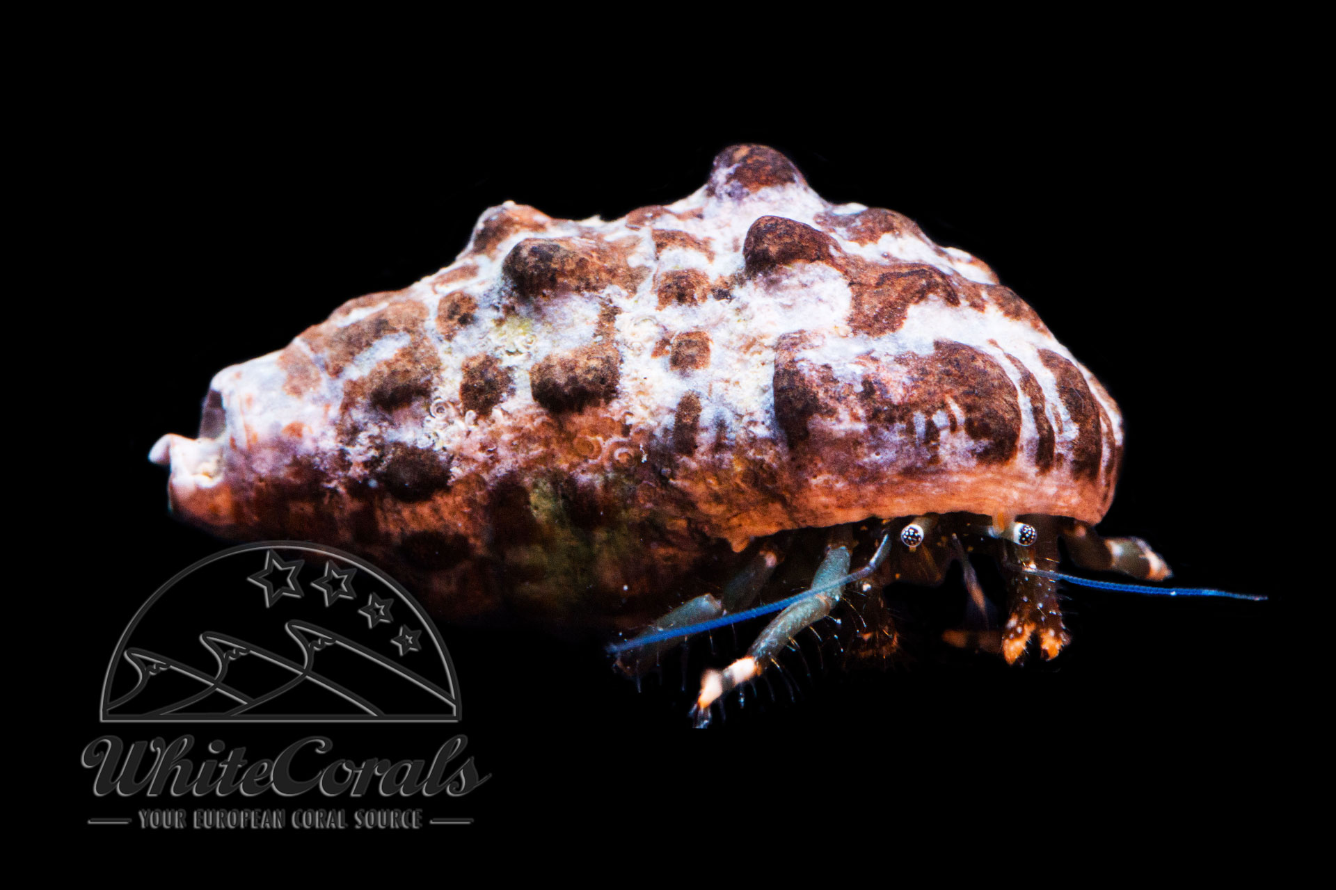Clibanarius sp. - Hermit Crab (various species)