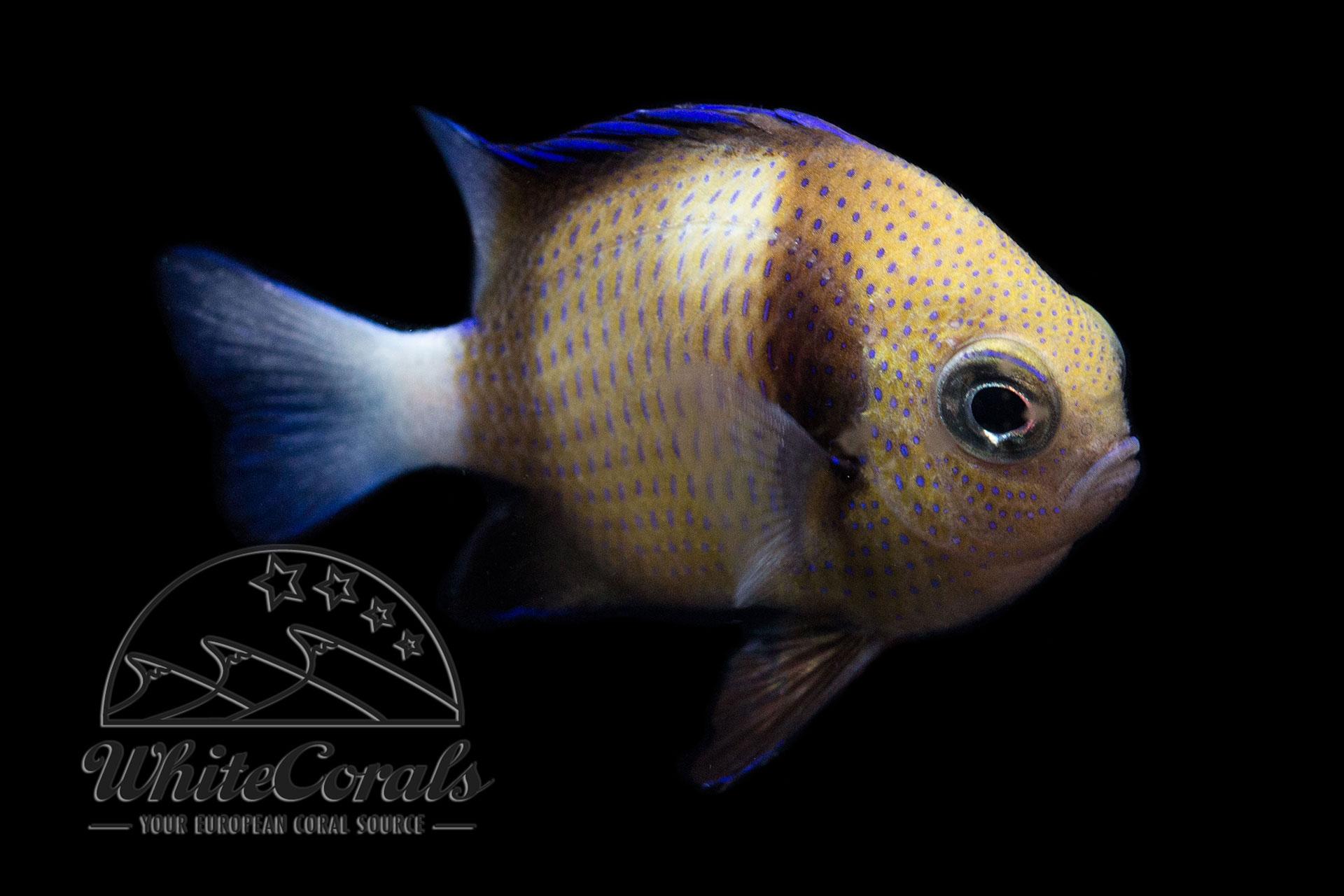 Dascyllus carneus/reticulatus - Weißschwanz-Preußenfisch