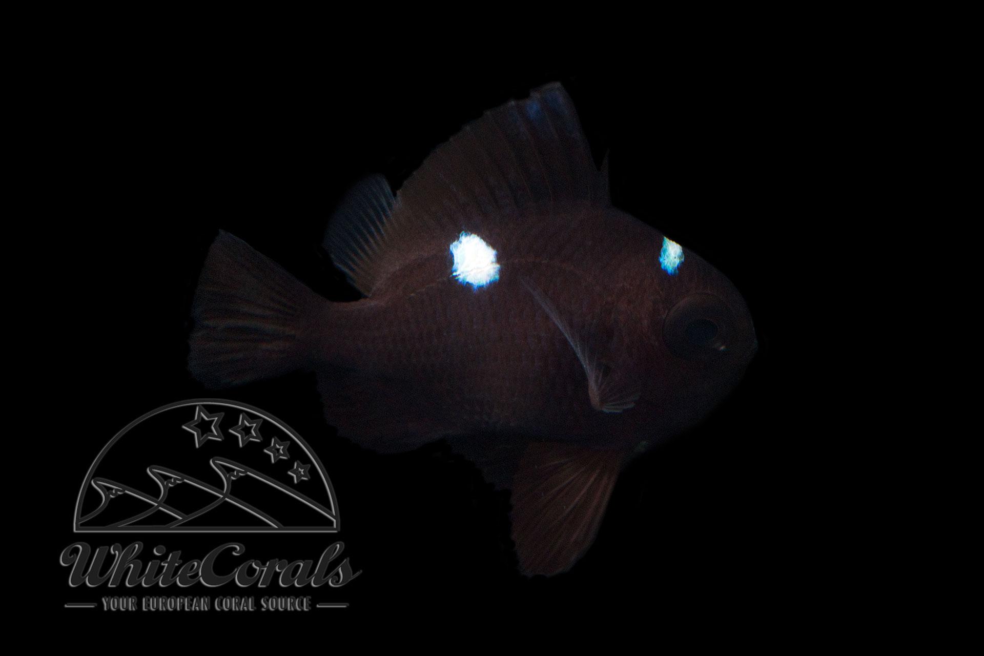 Dascyllus trimaculatus - Dreipunkt Preußenfisch