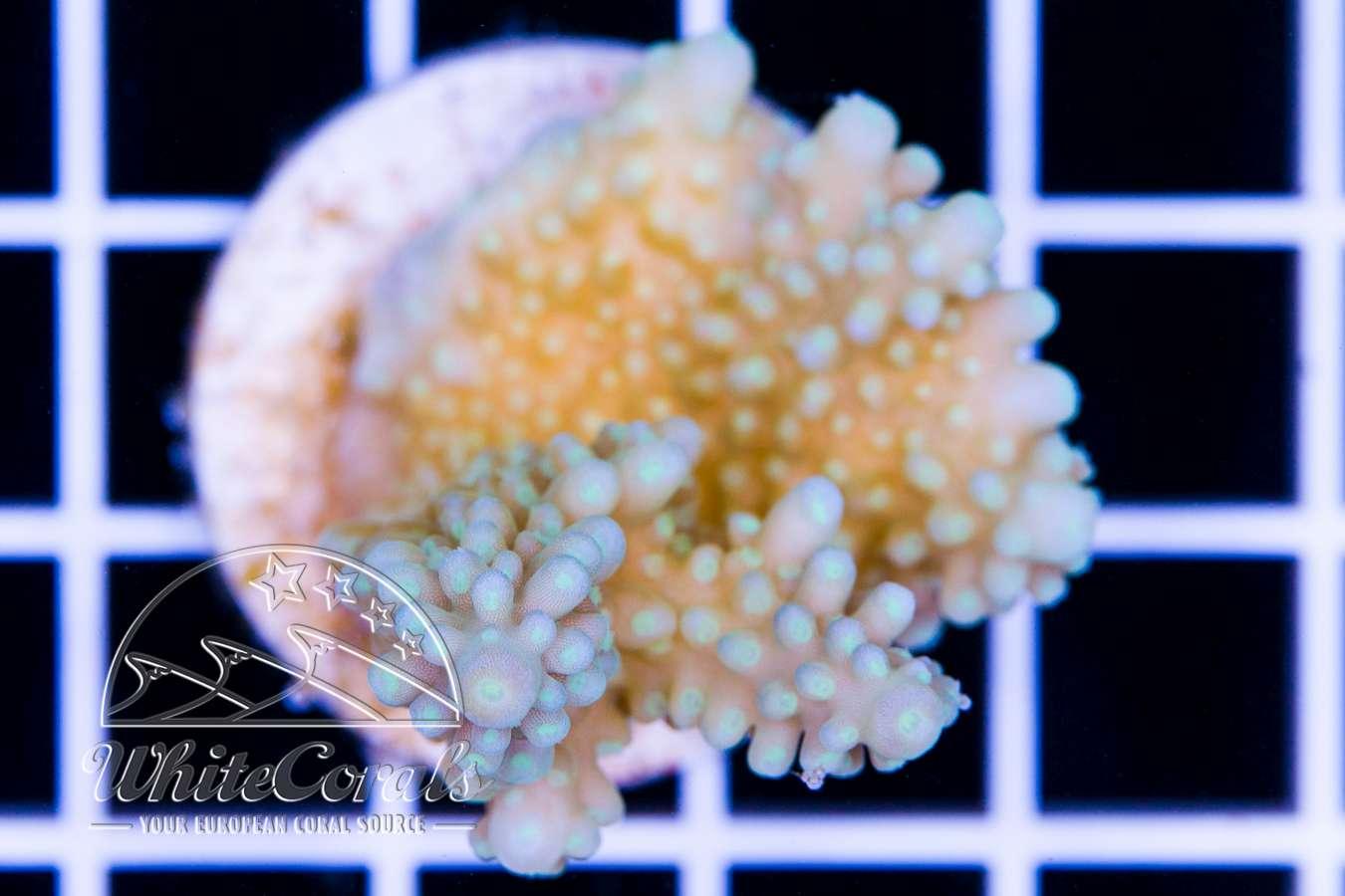 seltene sps korallen ableger und st cke online kaufen meerwassershop. Black Bedroom Furniture Sets. Home Design Ideas