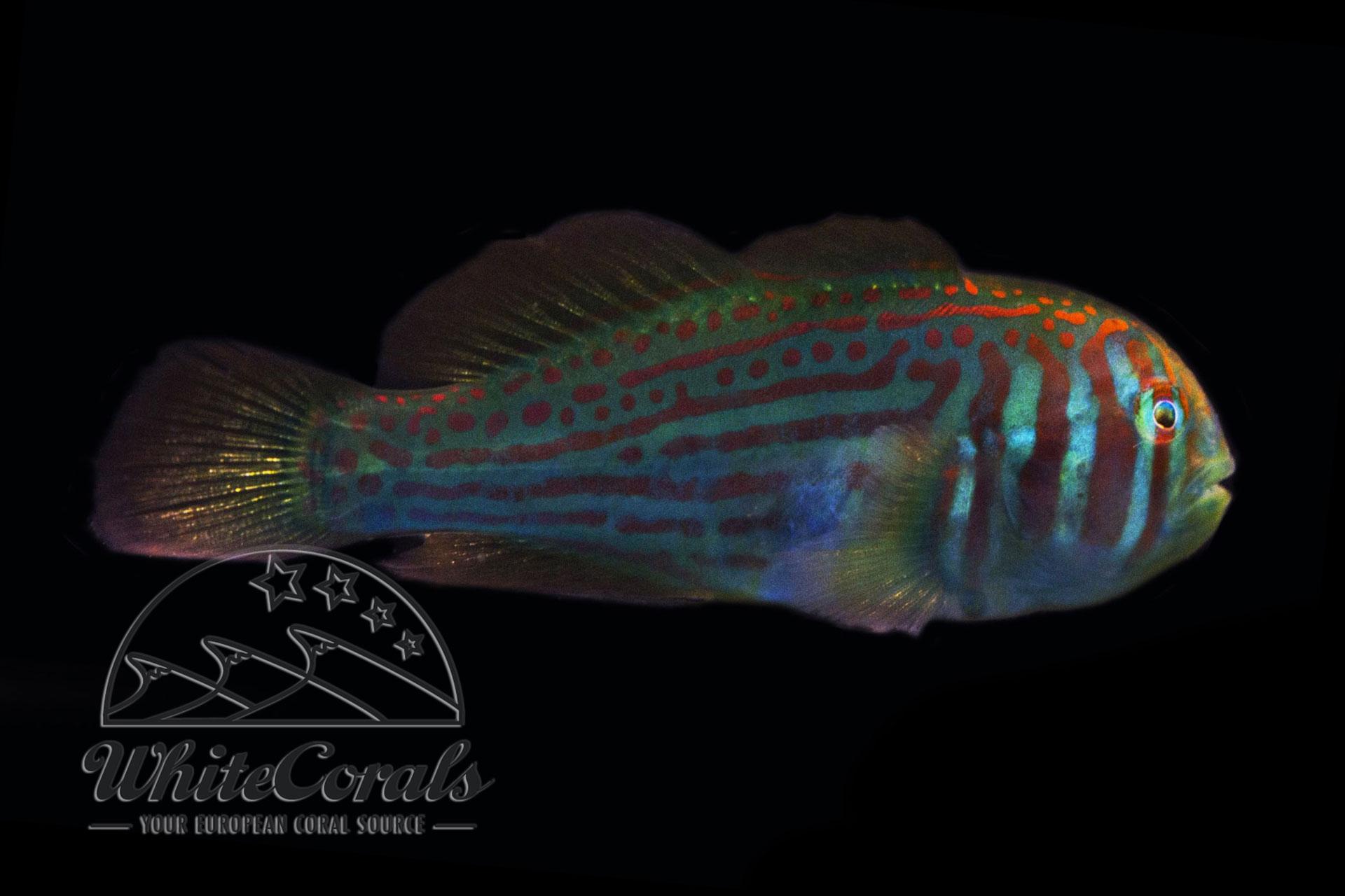 Gobiodon histrio - Blaupunkt-Korallengrundel