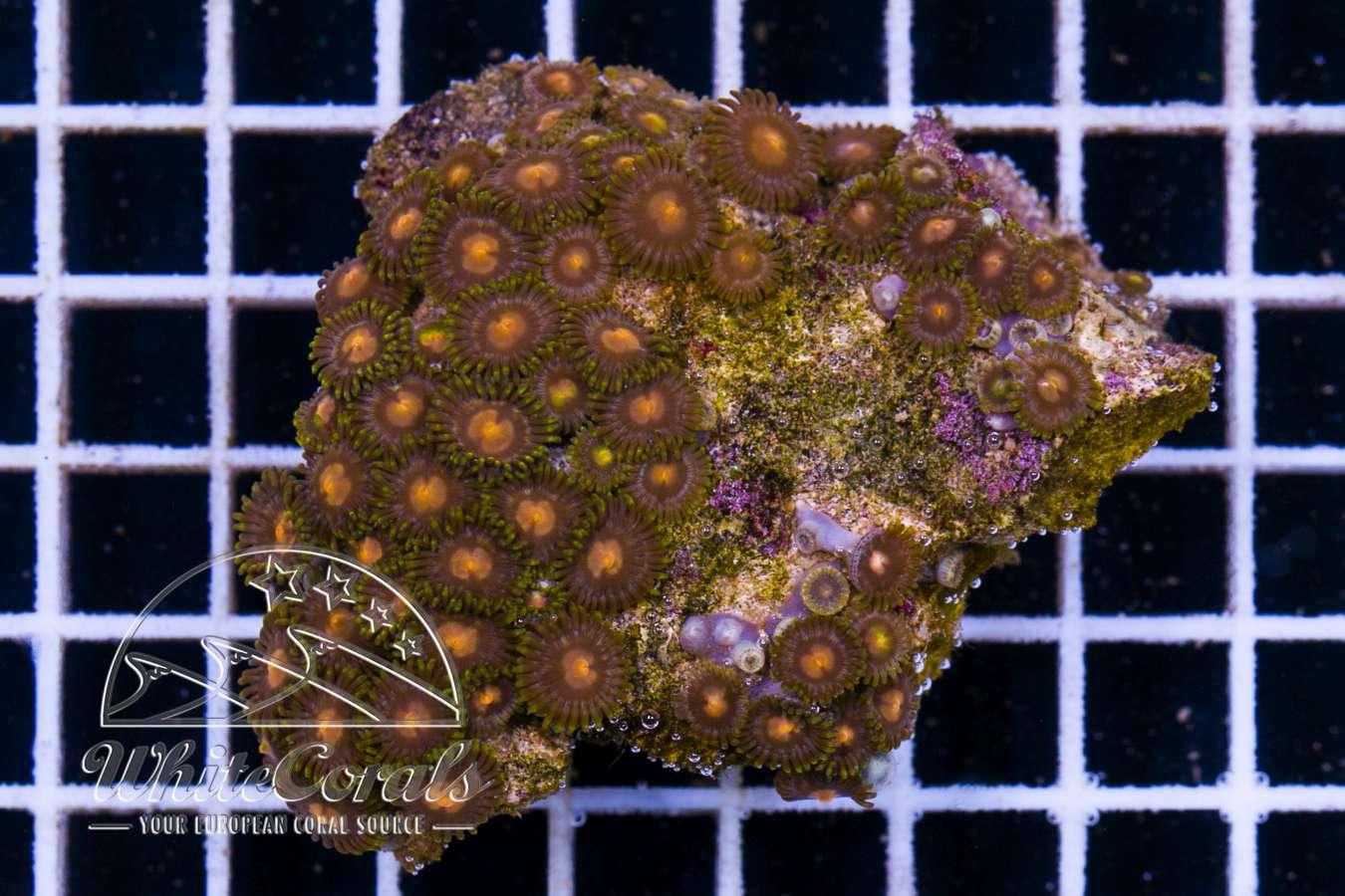 seltene ultra zoanthus krustenanemonen korallen ableger online kaufen. Black Bedroom Furniture Sets. Home Design Ideas