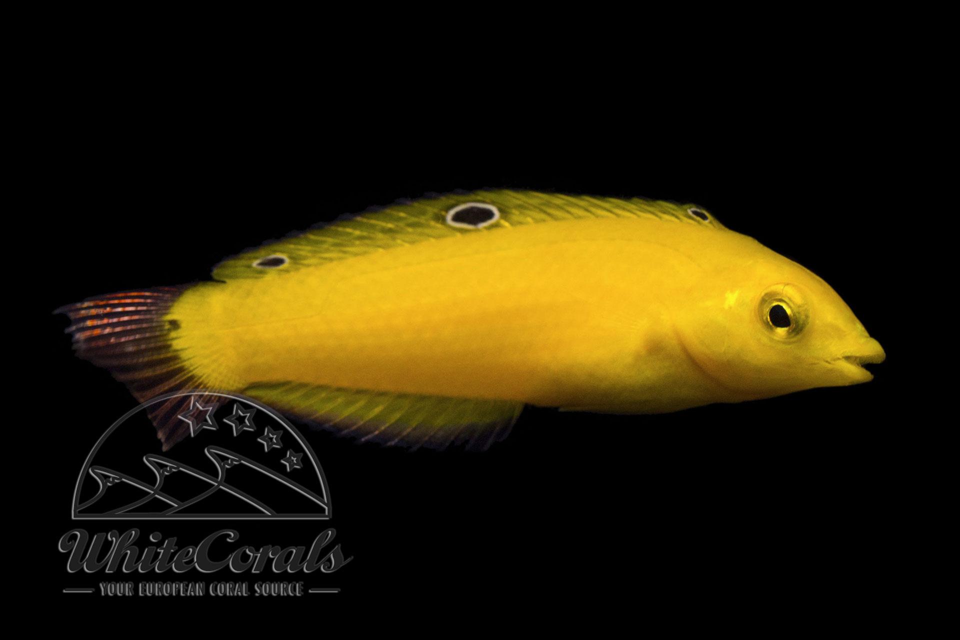 Halichoeres chrysus - Kanarien-Lippfisch