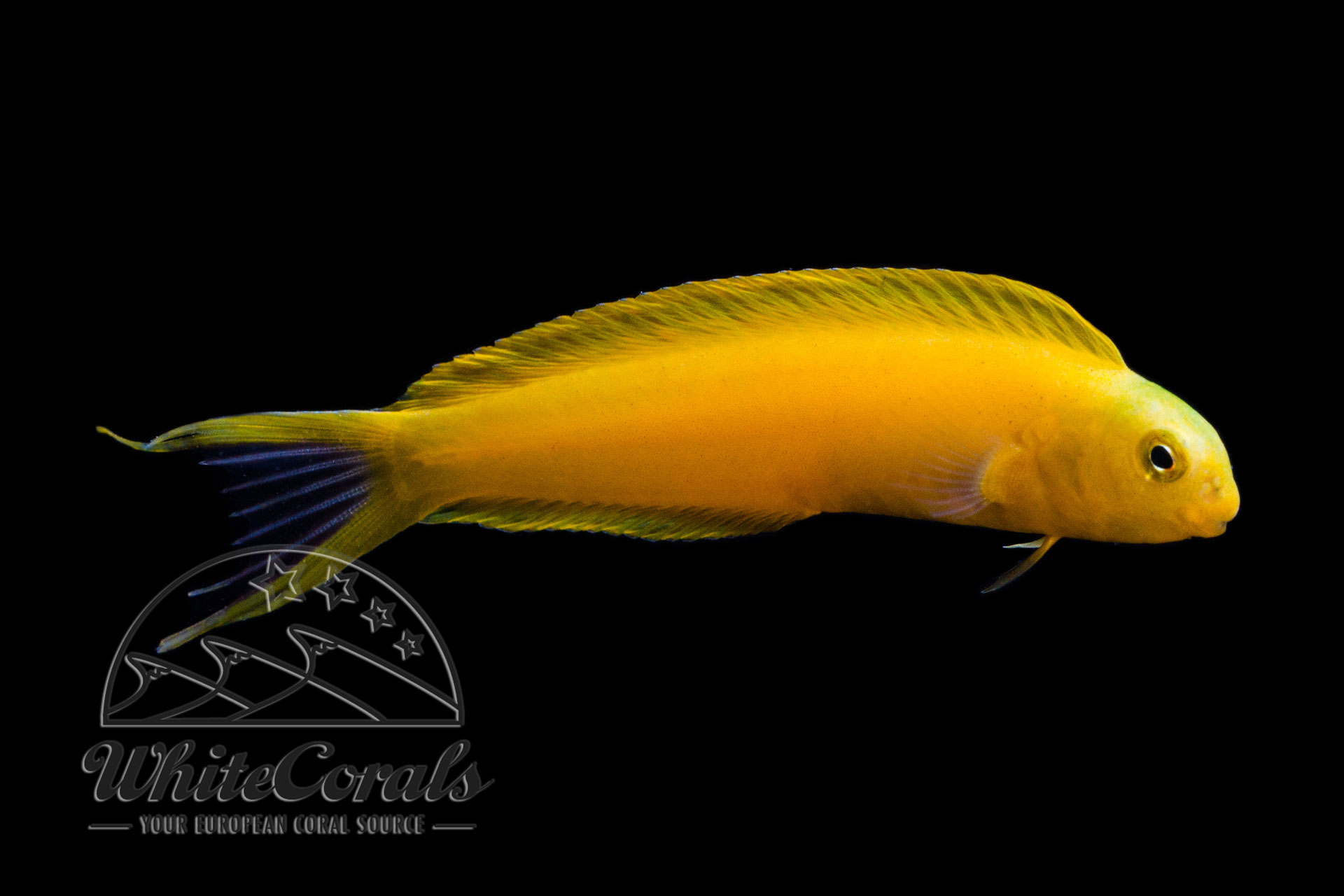 Meiacanthus oualanensis - Gelber Fidschi-Schleimfisch