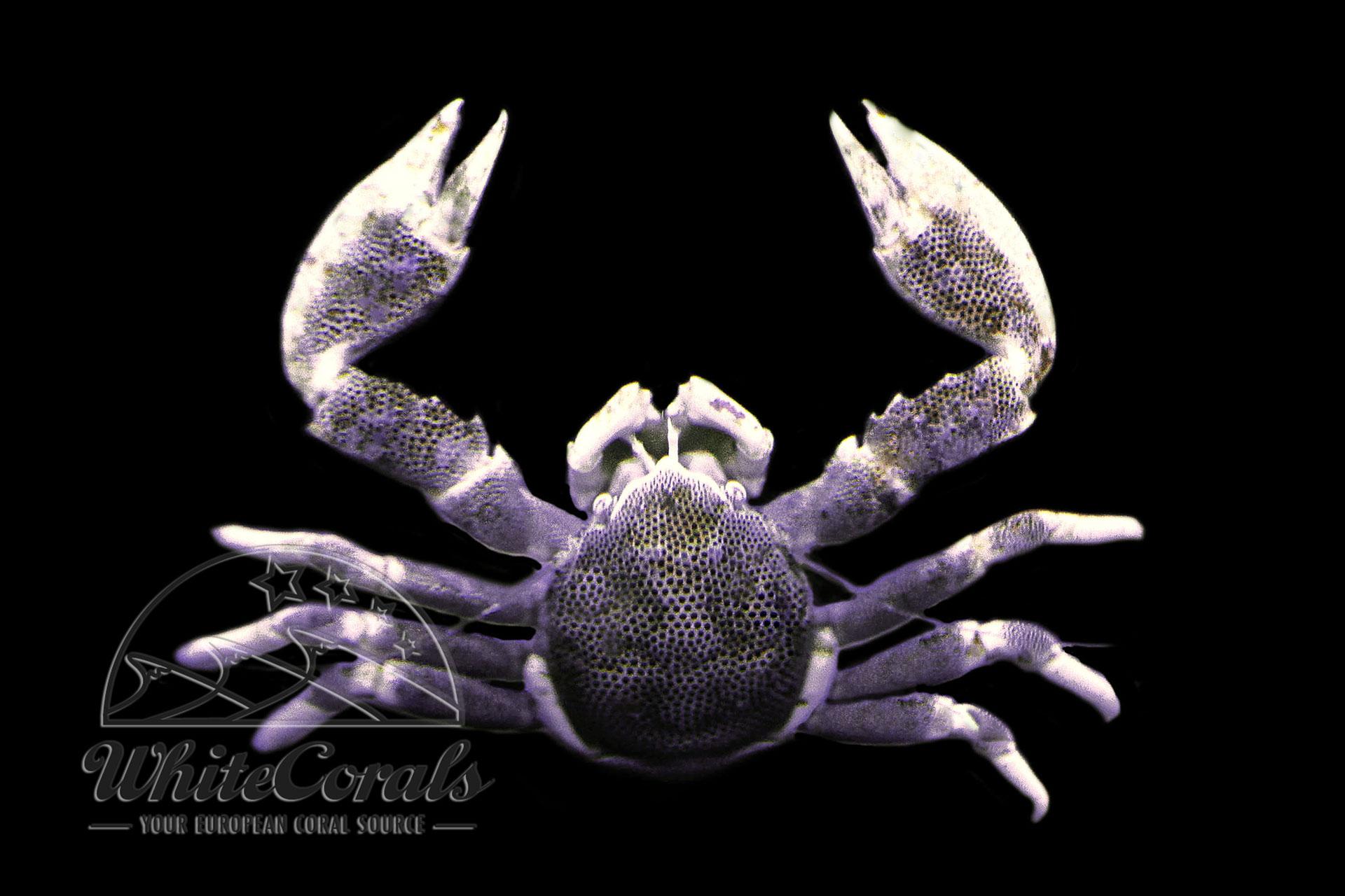 Neopetrolisthes maculatus - Anemone Crab