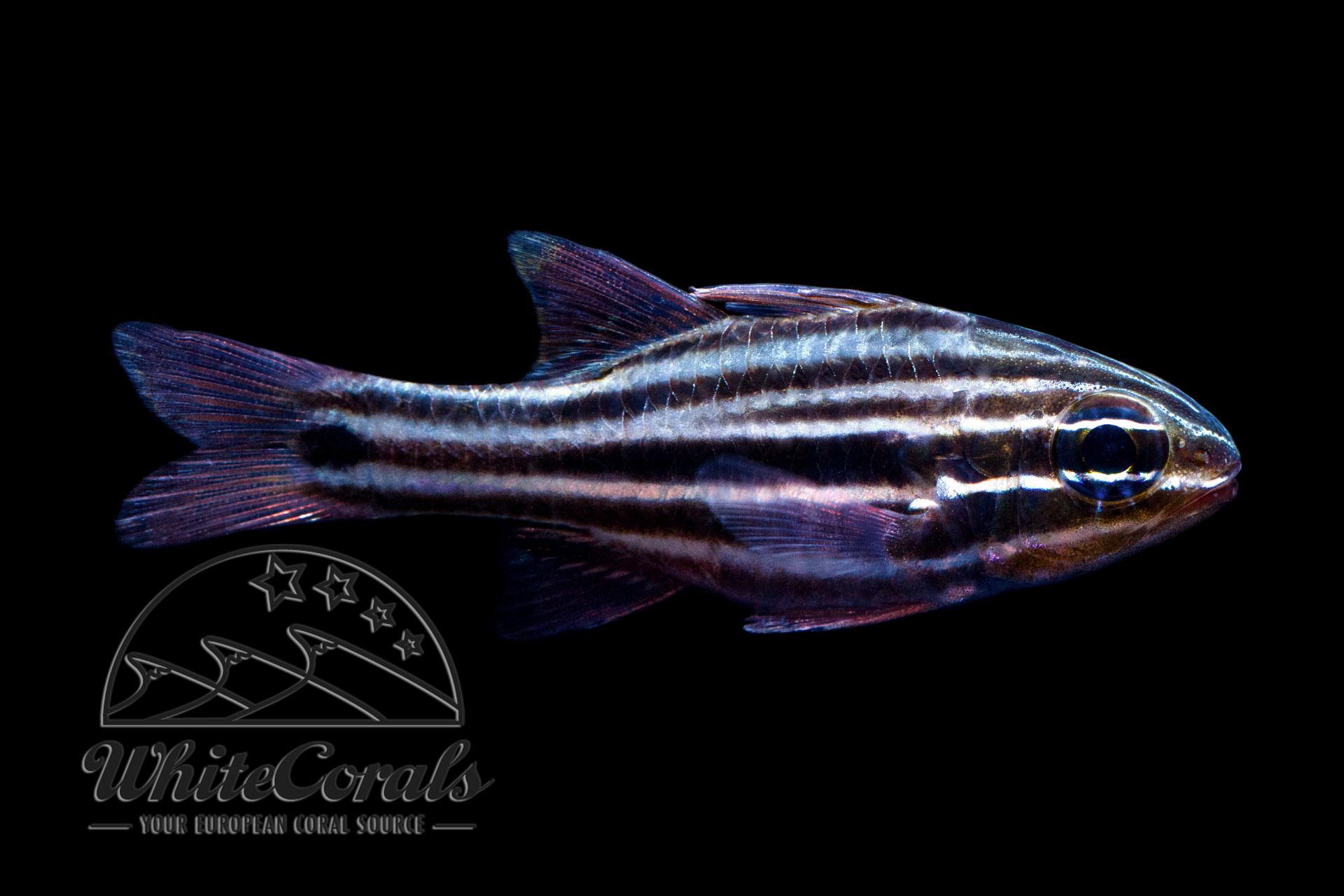 Ostorhinchus (Apogon) cookii - Cooks Kardinalbarsch