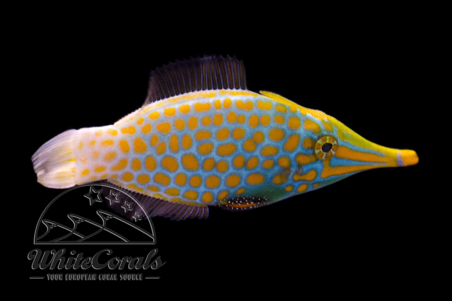 Oxymonacanthus longirostris - Orangeflecken-Feilenfisch