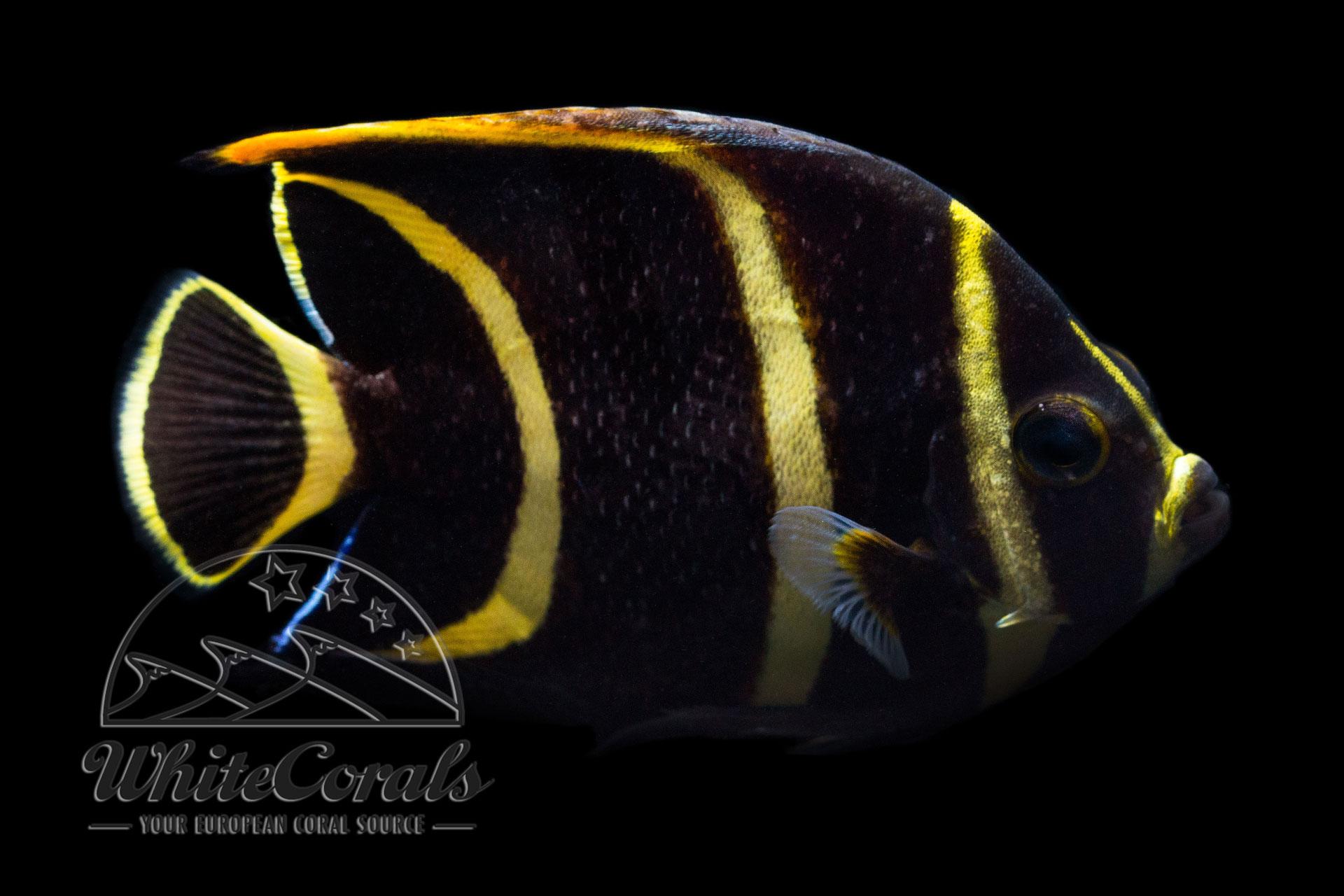 Pomacanthus paru - Franzosen-Kaiserfisch (juvenil)