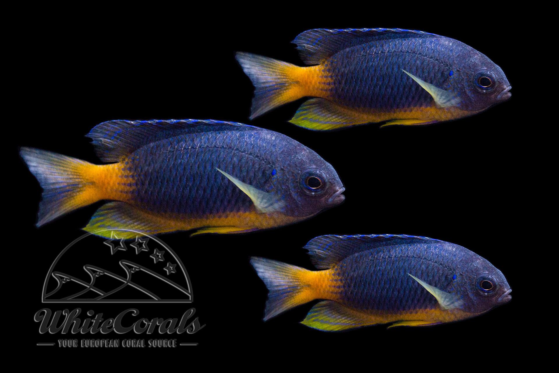 Pomacentrus caeruleopunctatus - Riffbarsch (3er-Pack)