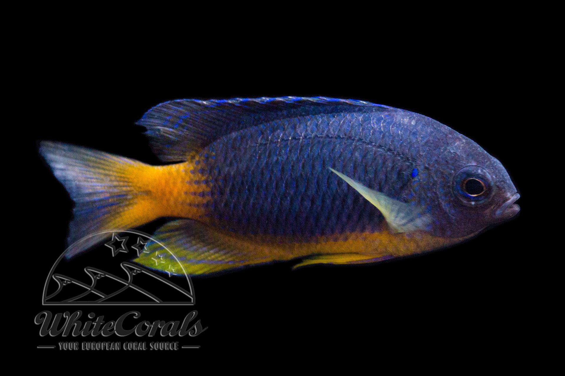 Pomacentrus caeruleopunctatus - Riffbarsch