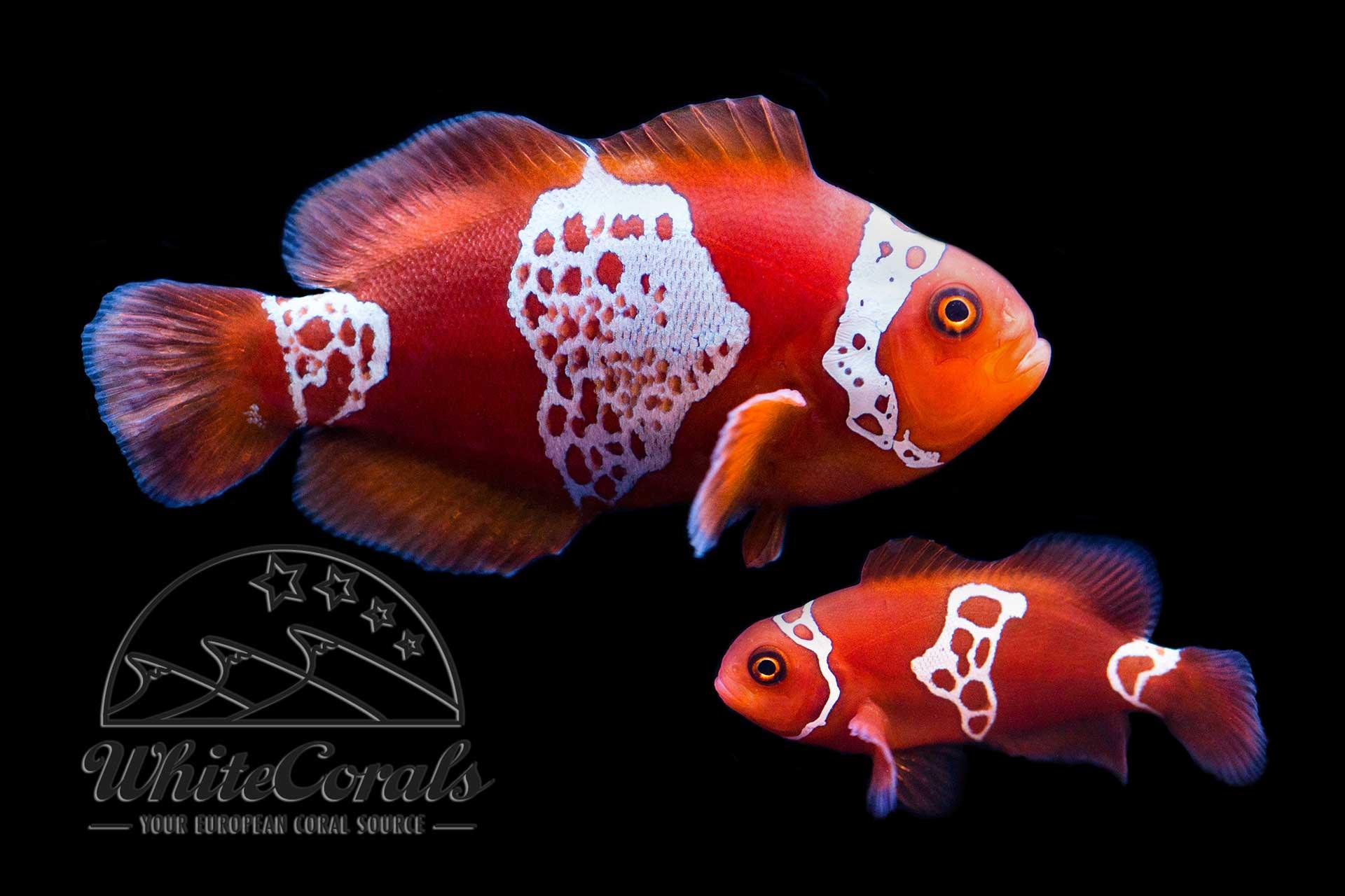 Premnas biaculeatus - Lightning Maroon Clownfish - Pair