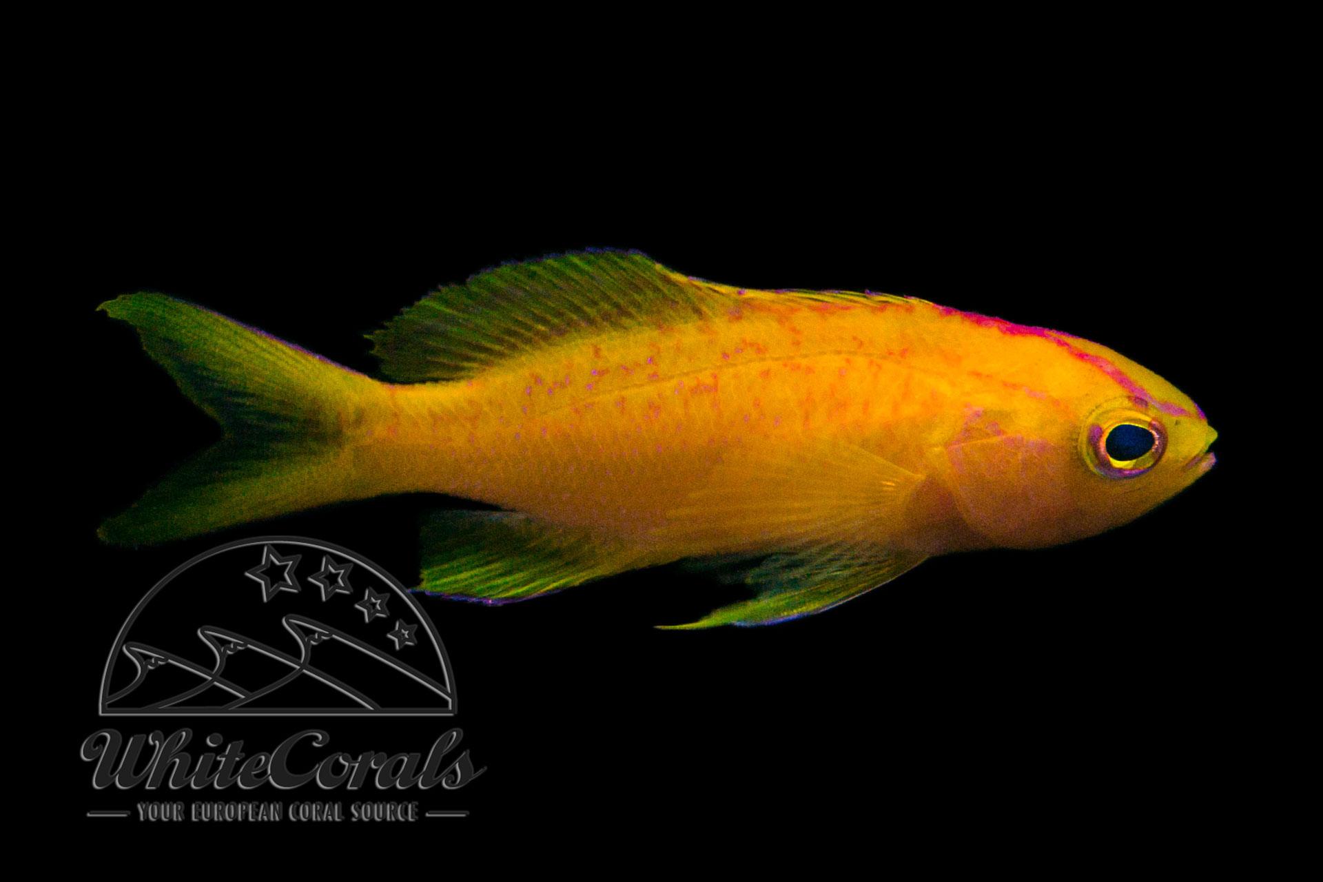 Pseudanthias parvirostris - Diadem-Fahnenbarsch (Weibchen)