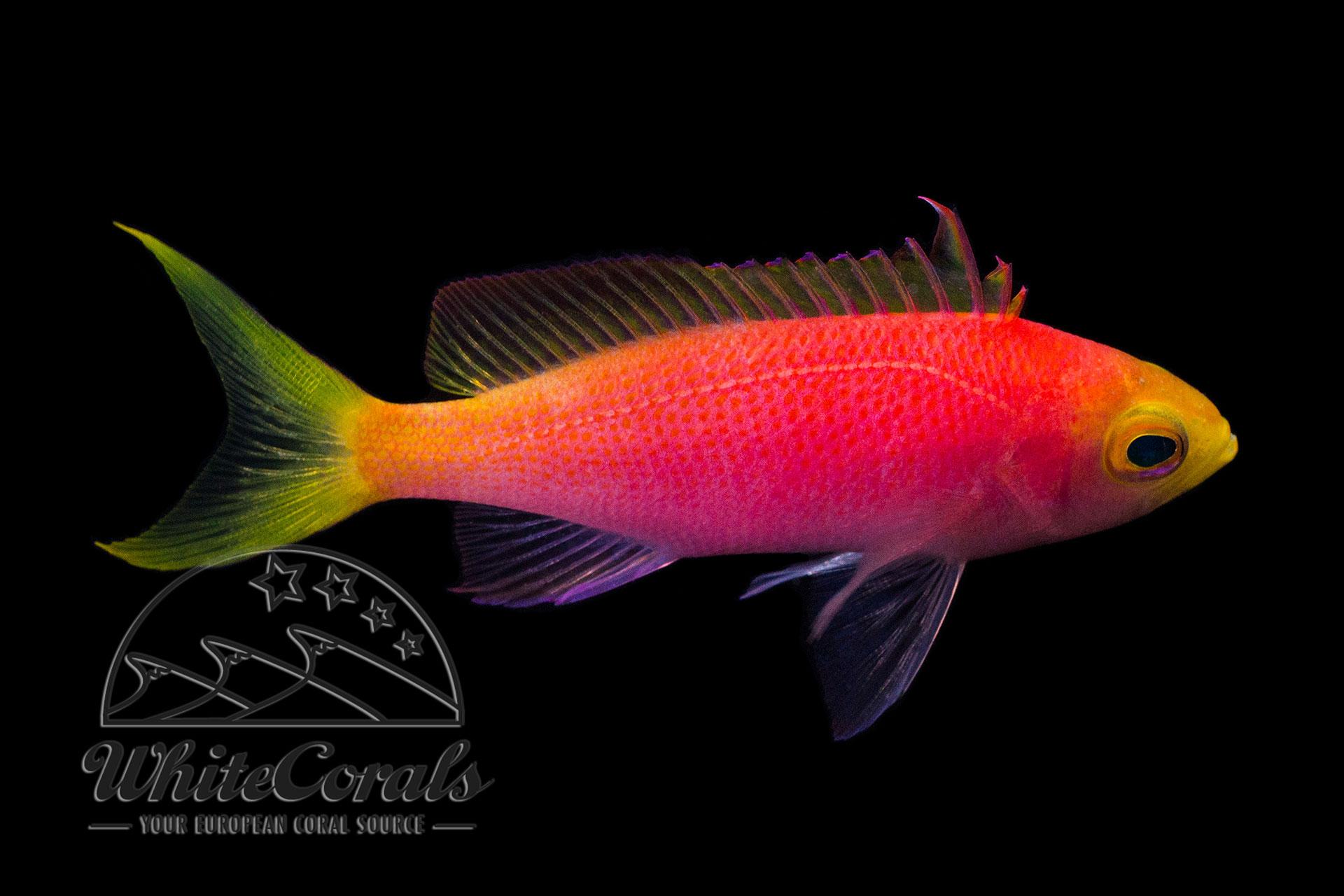 Pseudanthias pulcherrimus - Malediven Fahnenbarsch (Weibchen)