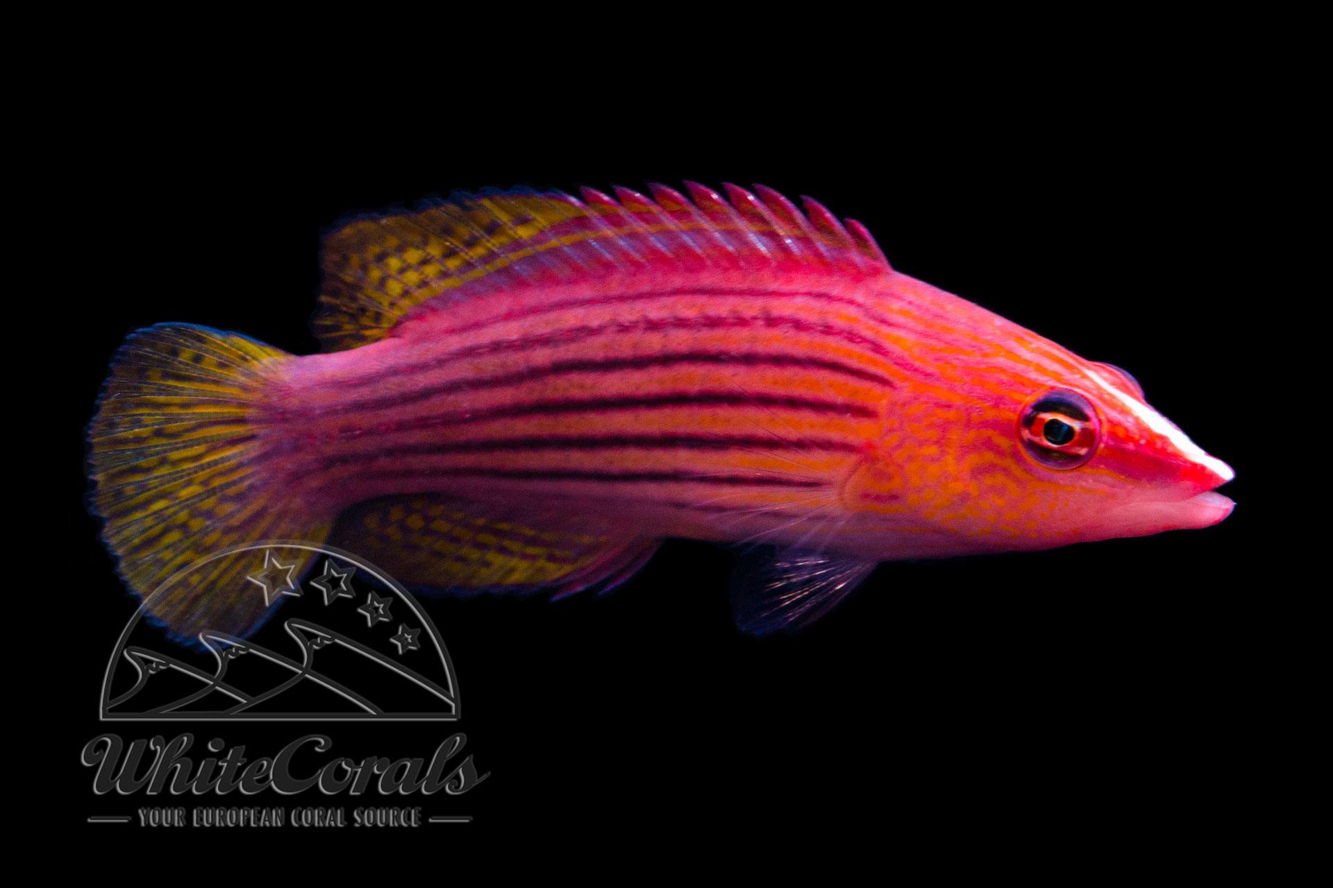 Pseudocheilinus octotaenia - Achtlinien-Zwerglippfisch