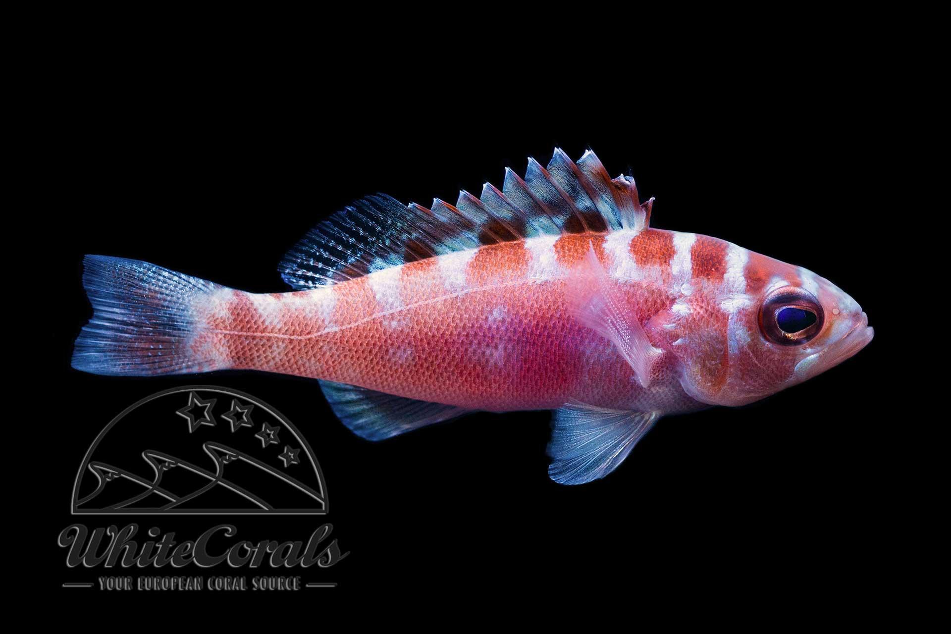 Serranus tortuganum - Chalk Basslet