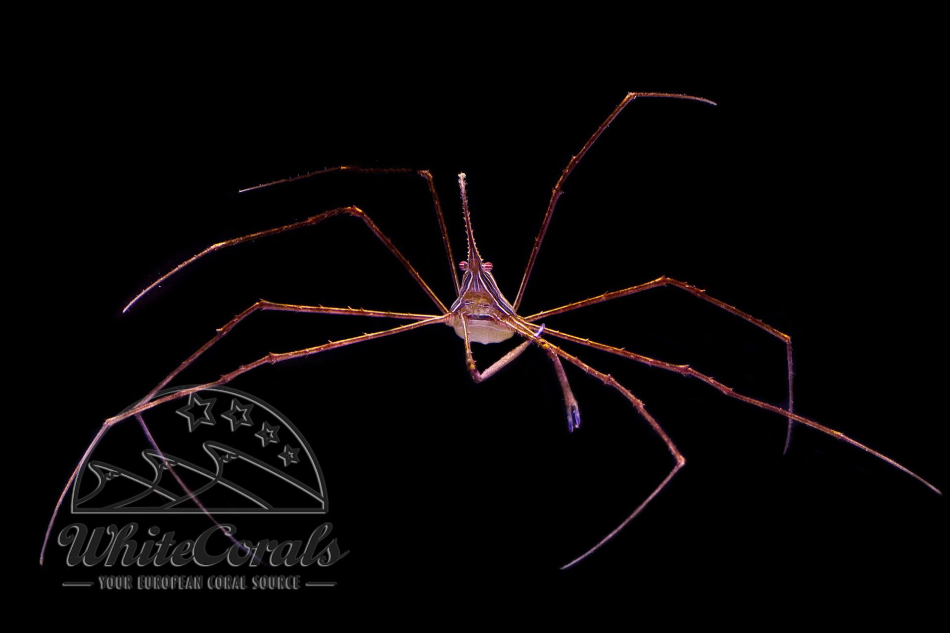 Stenorhynchus seticornis - Arrow Crab
