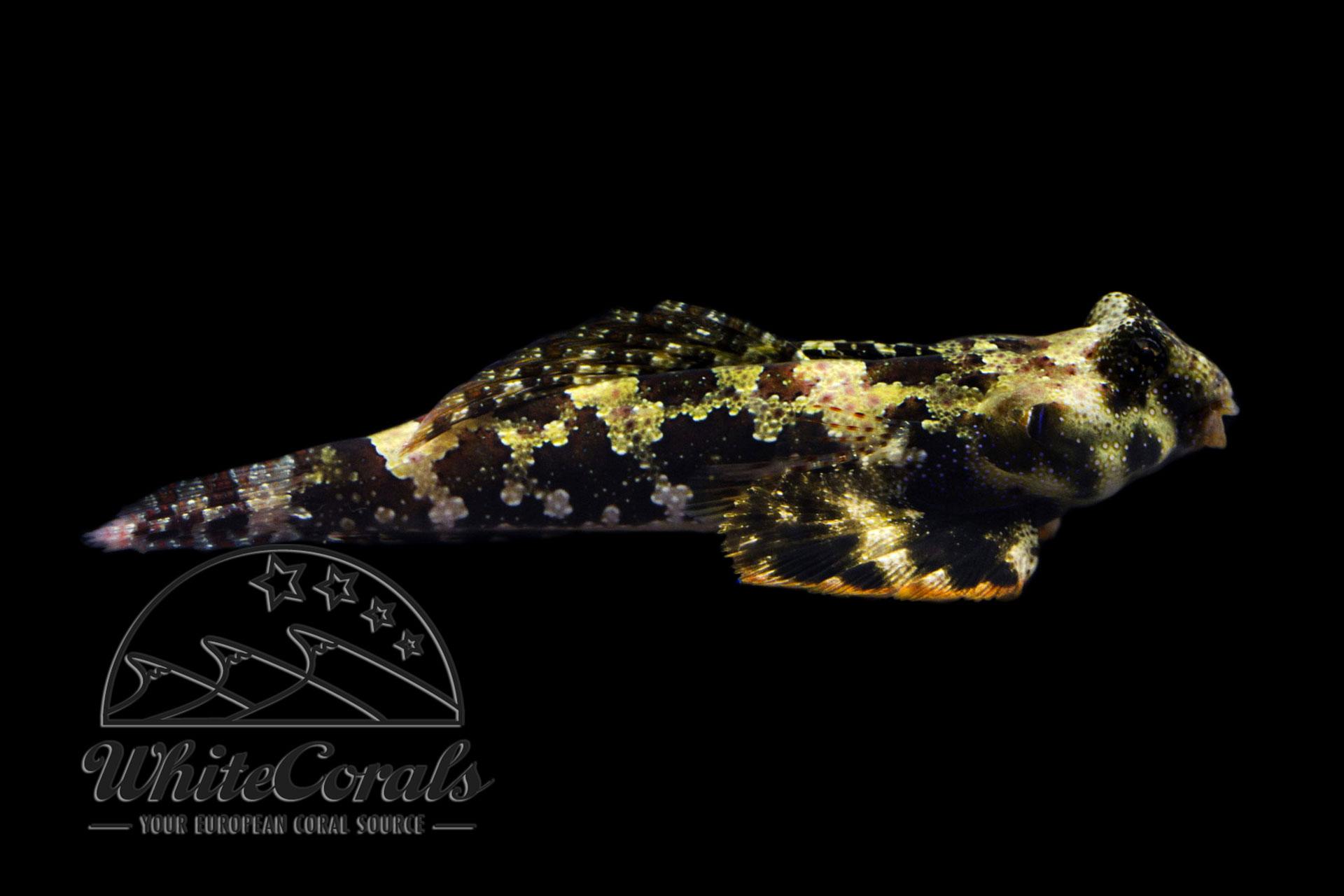 Synchiropus ocellatus - Augenfleck Mandarinfisch