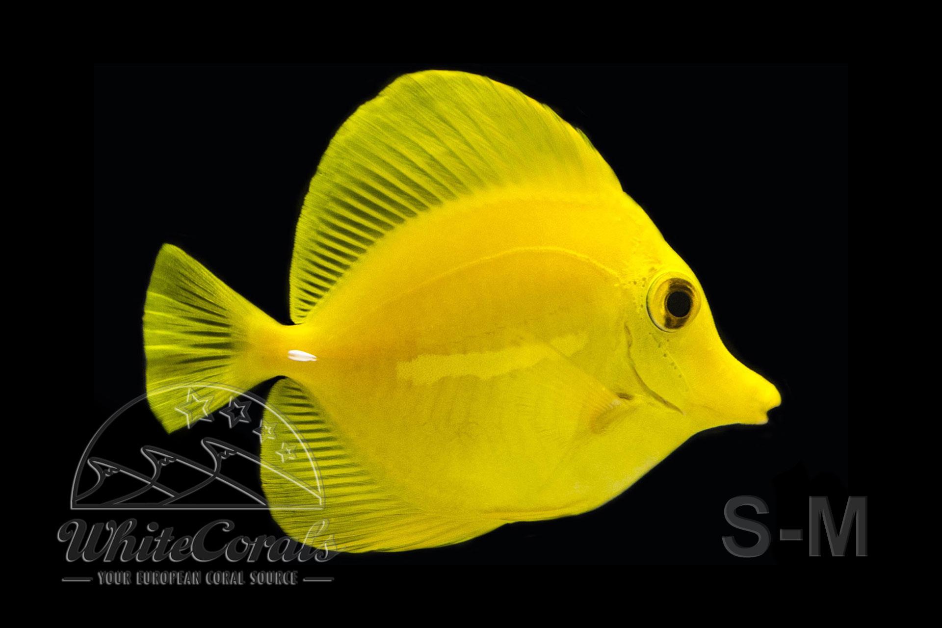 Zebrasoma flavescens - Gelber Doktorfisch (Größe S-M)